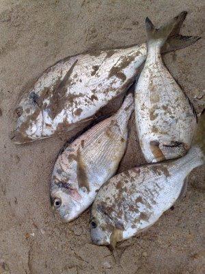 Pêche dorade au bibi