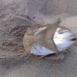 Peche dorade en surfcasting Sète