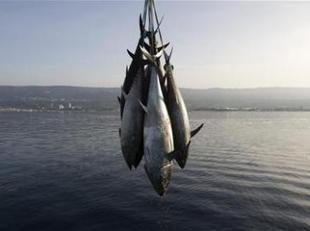 peche au thon rouge en mediterranee